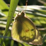 Alfalfa butterfly.