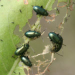 Apple Flea Beetles
