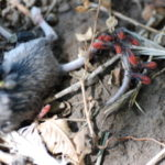 Box elder bugs eating a dead mouse.