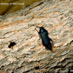 Blackhorned Pine Borer