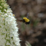 Bumblebee on Foxtail Lily