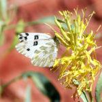 Becker's white butterfly.