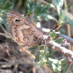 Ridings Satyr butterfly.