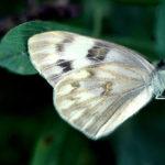 Western white butterfly.