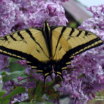 Swallowtail butterfly on lilac bush.