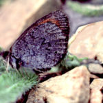 Colorado Alpine butterfly.