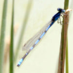 Blue damselflies.