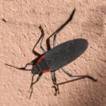 Goldenrain Tree Bug
