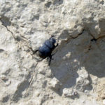 Prairie Dog Dung Beetle