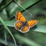 Ruddy Copper butterfly