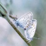 Mating pair of Melissa's Blue butterflies.