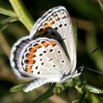 Melissa's Blue butterfly