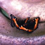 Milberts Tortoise Shell butterfly