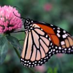 Monarch butterfly, wings closed
