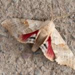 Big Poplar Sphinx Moth
