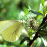 Grey veined yellow butterfly.