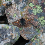 Rockslide Checkerspot butterfly