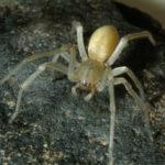 Yellow-legged Sac Spider