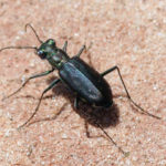 Sidewalk Tiger Beetle
