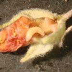 Weevil larvae on globemallow flower