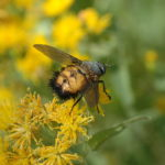 Spiny tachinid fly. Photo by Bob Hammon.