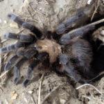 Female tarantula.