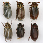 Tenlined June Beetles