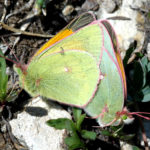 Meads Sulfur butterfly