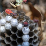 Box elder bugs feeding on wasp larvae.