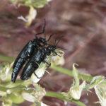 Blister beetles.