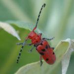Milkweed beetle. Photo by Bob Hammon