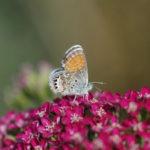 Pigmy Blue butterfly