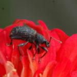 Root weevil. Photo by Bob Hammon