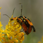 Mating soldier beetles. Photo by Bob Hammon
