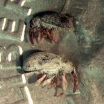 Sphaeralcea Weevil adults