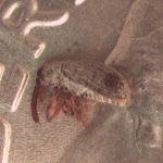 Sphaeralcea weevil adult